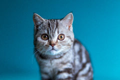 Skotsk rak brittisk kattunge Arkivfoton