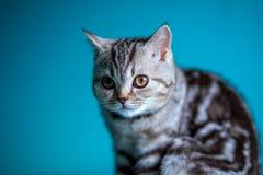 Skotsk rak brittisk kattunge Royaltyfria Foton