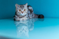 Skotsk rak brittisk kattunge Arkivbilder