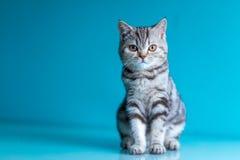 Skotsk rak brittisk kattunge arkivbild