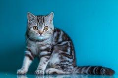 Skotsk rak brittisk kattunge royaltyfria bilder