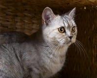 Skotsk rak katt i ask Arkivfoto