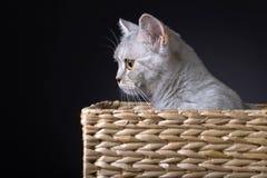 Skotsk rak katt i ask Arkivbilder