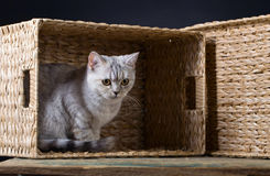 Skotsk rak katt i ask Royaltyfri Fotografi