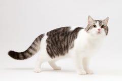 Skotsk rak katt som blir fyra ben Royaltyfri Foto