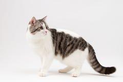 Skotsk rak katt som blir fyra ben Fotografering för Bildbyråer