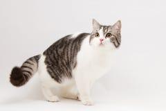 Skotsk rak katt som blir fyra ben Royaltyfri Fotografi
