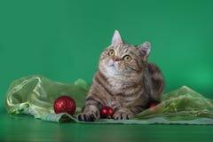 Skotsk rak katt som ser upp på en grön bakgrund Royaltyfria Bilder