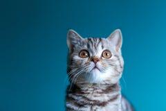 Skotsk rak kattunge Fotografering för Bildbyråer