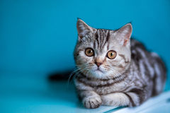 Skotsk rak kattunge royaltyfri bild
