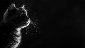 Skotsk rak kattunge för ståendemarmorstrimmig katt svart white arkivbilder