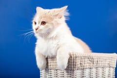 Skotsk rak kattunge Royaltyfria Foton