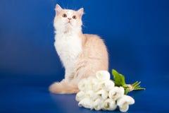 Skotsk rak kattunge Arkivfoton