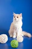 Skotsk rak kattunge Arkivbilder