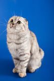 Skotsk rak kattunge Royaltyfri Fotografi