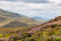 Skotsk Skotska högländernaLT Arkivbild