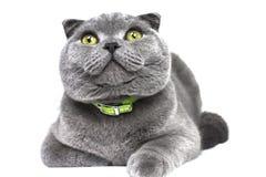 Skotsk slokörad grå härlig stor katt som ser upp Arkivfoton