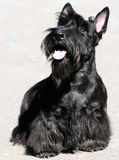 skotsk terrier royaltyfria bilder