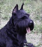 skotsk terrier Royaltyfria Foton
