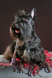 skotsk terrier Arkivfoton