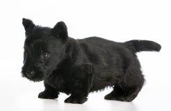 skotsk terrier Royaltyfri Bild