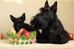 Skotsk terrier med äpplet Arkivfoton