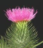 skotsk thistle Arkivfoton