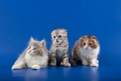 Skotsk veckavel för kattungar Royaltyfri Foto