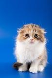 Skotsk veckavel för kattunge Royaltyfria Foton