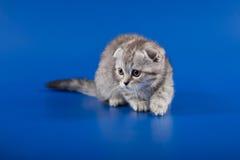 Skotsk veckavel för kattunge Arkivfoto