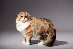 Skotsk veckavel för kattunge Arkivfoton