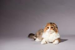 Skotsk veckavel för kattunge Royaltyfria Bilder