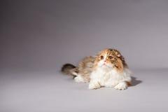 Skotsk veckavel för kattunge Arkivbild