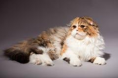 Skotsk veckavel för kattunge Royaltyfri Bild
