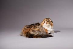 Skotsk veckavel för kattunge Royaltyfri Foto