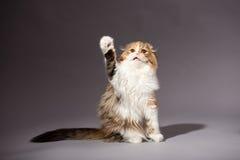 Skotsk veckavel för kattunge Arkivbilder