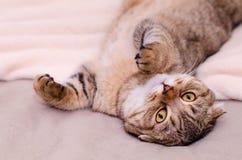 Skotsk veckkatt, liggande buk för brun strimmig katt upp på dess baksida Arkivbild