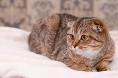 Skotsk veckkattstrimmig katt Arkivfoton