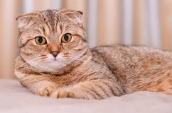 Skotsk veckkattstrimmig katt Arkivfoto