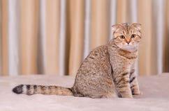 Skotsk veckkattstrimmig katt Arkivbild