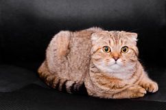 Skotsk veckkattstrimmig katt på en svart bakgrund Arkivbild