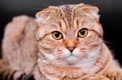 Skotsk veckkattstrimmig katt på en svart bakgrund Royaltyfri Fotografi