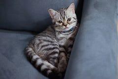 Skotsk veckkattunge på soffan Arkivbild