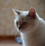 Skotsk vit katt Fotografering för Bildbyråer