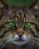 Skotsk Wild katt Royaltyfri Foto
