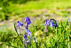 Skotska blåklockor med gräsplan brurred bakgrund Royaltyfri Bild