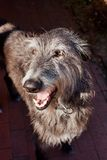 Skotska Deerhound Arkivbilder