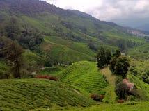 Skotska högländerna för tegods@ Kamerun, Malaysia Royaltyfri Foto