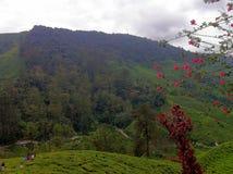 Skotska högländerna för tegods@ Kamerun, Malaysia Royaltyfri Bild