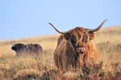 Skotska höglands- kor som bor i hedland royaltyfri fotografi